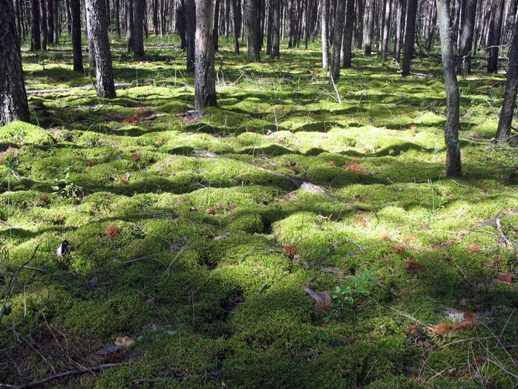 лес зарос мхом moss-grown forest