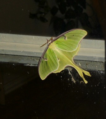 http://chestyle.com/pictures/story/usa_2_1_luna_moth.jpg